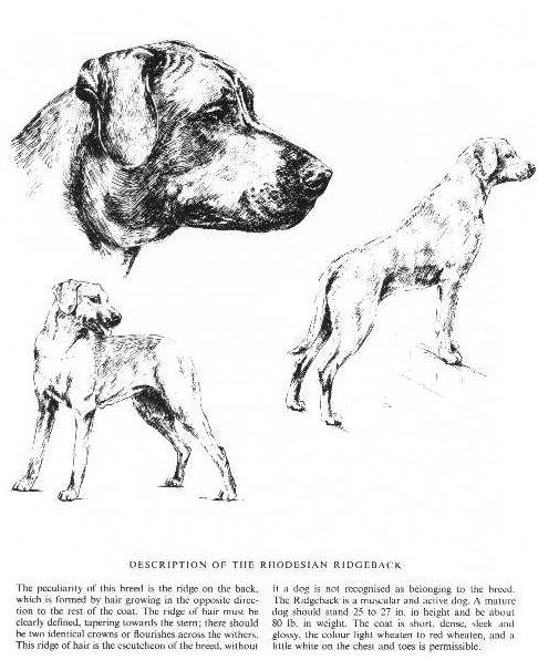 Rhodesian Ridgeback Sketch - Country Life