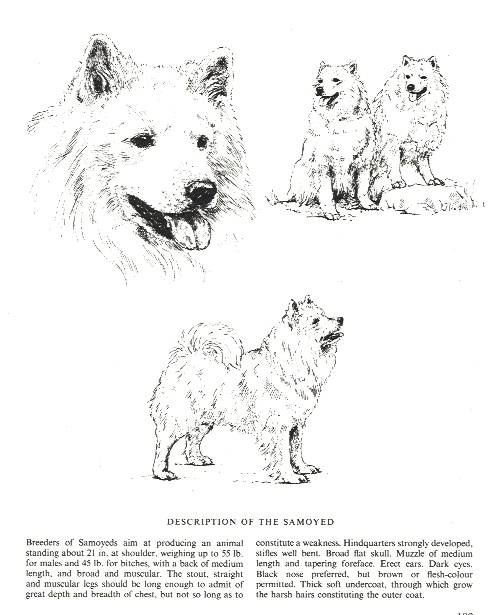 Samoyed Sketch - Country Life