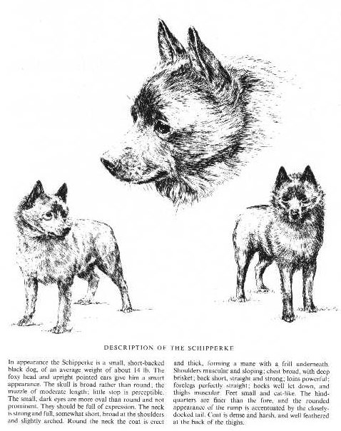 Schipperke Sketch - Country Life