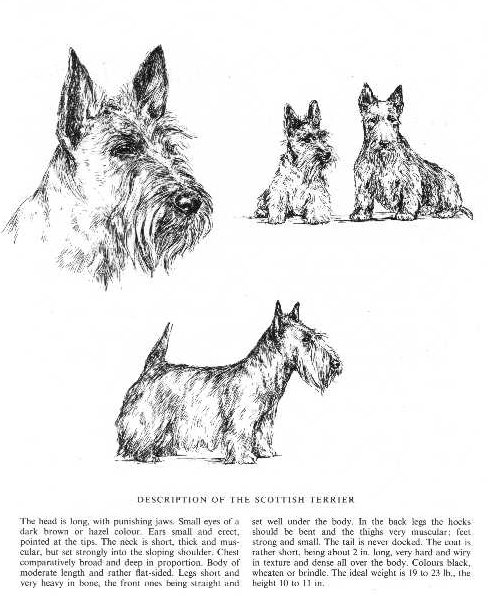 Scottish Terrier Sketch - Country Life