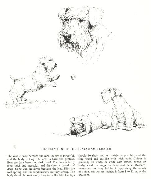 Sealyham Terrier Sketch - Country Life