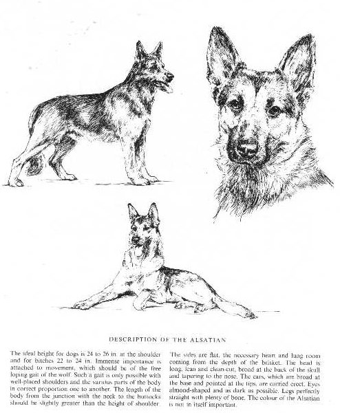 German Shepherd Sketch - Country Life