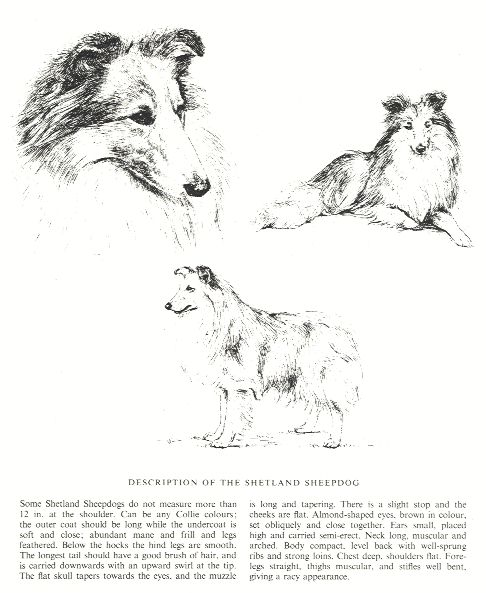 Shetland Sheepdog Sketch - Country Life