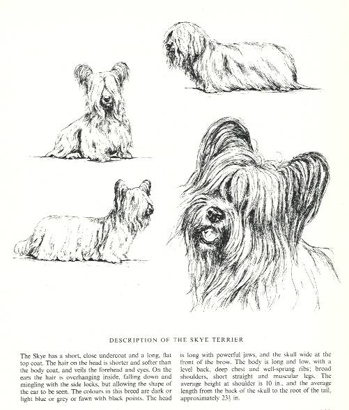 Skye Terrier Sketch - Country Life