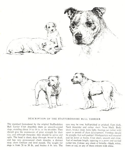 Staffordshire Bull Terrier Sketch - Country Life