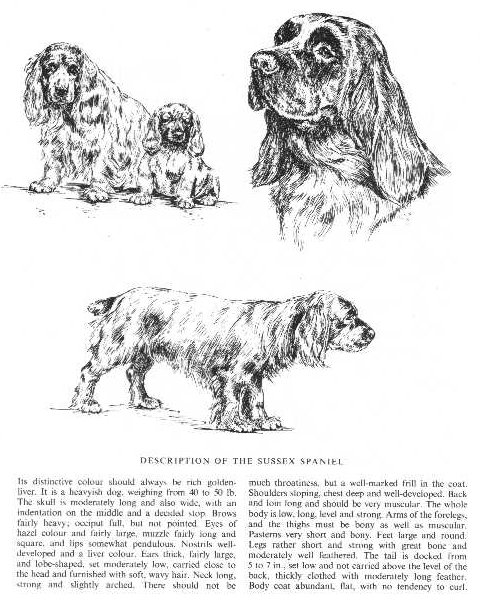 Sussex Spaniel Sketch - Country Life