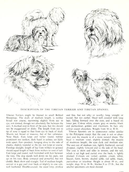 Tibetan Spaniel Sketch - Country Life