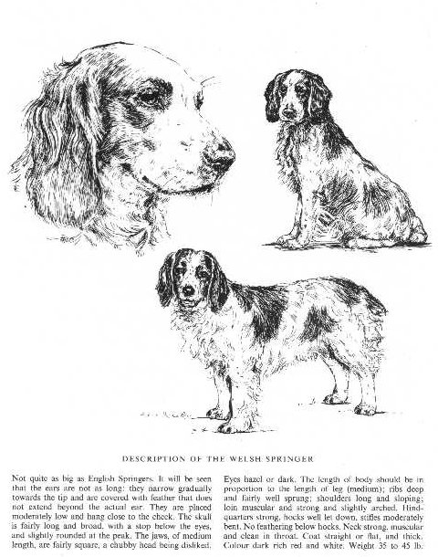 Welsh Springer Spaniel Sketch - Country Life