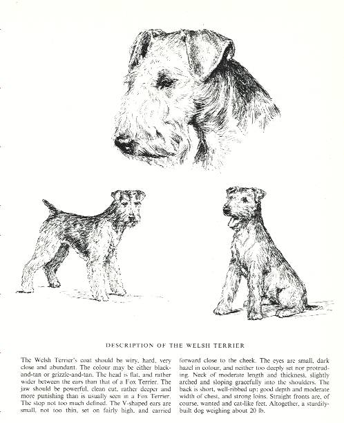 Welsh Terrier Sketch - Country Life