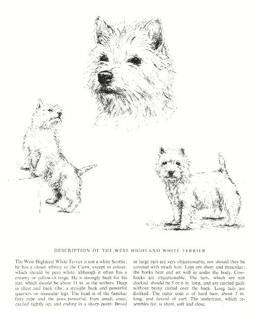 West Highland White Terrier Sketch - Country Life