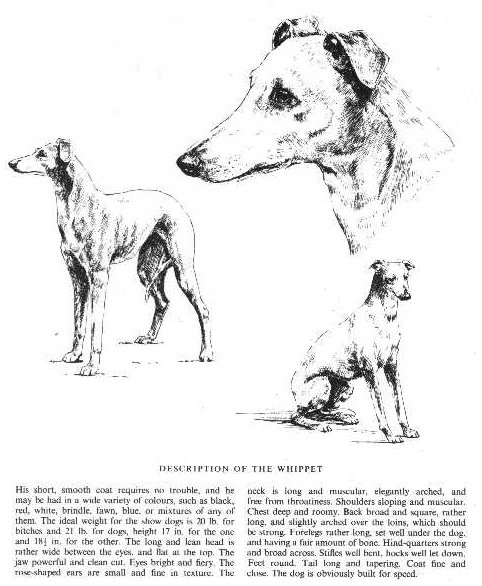 Whippet Sketch - Country Life