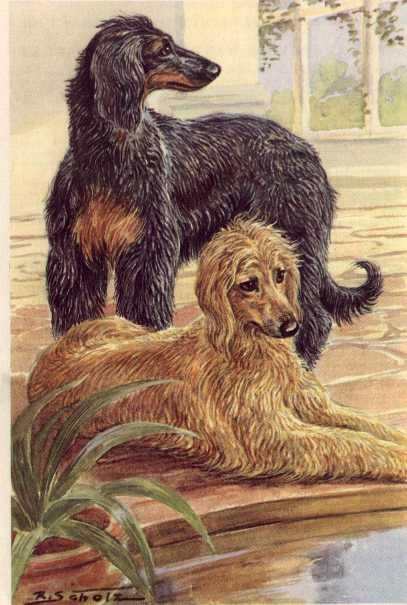 Afghan Hound Vintage Dog Art Prints Gifts And Artwork