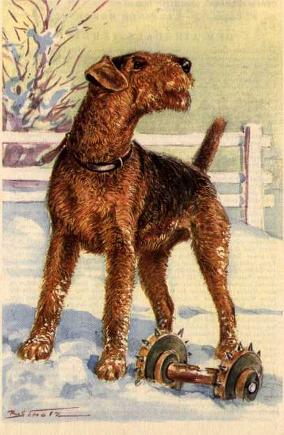 Airedale Terrier Print - German
