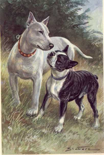Boston and Bull Terrier Print - German