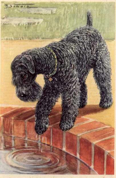 Kerry Blue Terrier Print - German
