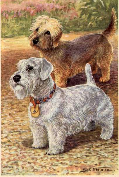 Dandie Dinmont Terrier Print - German